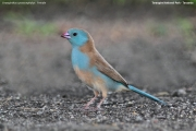 Uraeginthus_cyanocephalus003.Female.Tarangire_N.P.Tanzania.25.03.2013