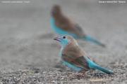 Uraeginthus_cyanocephalus004.Female.Tarangire_N.P.Tanzania.25.03.2013
