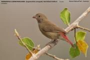 221.004.Lagonosticta_senegala002.Benoue_N.P.Kamerun.12.02.2012