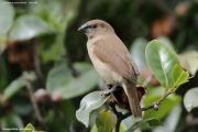 Lonchura-punctulata006.Juvenile.Nuwara-Eliya.Sri-Lanka.4.12.2018