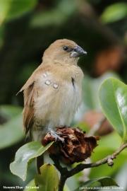 Lonchura-punctulata008.Juvenile.Nuwara-Eliya.Sri-Lanka.4.12.2018