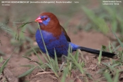 221.022.Granatina_ianthinogaster001.Male.Lake_Naivasha.Kenia.10.12.2014