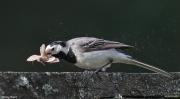Motacilla alba006.Oborka.20.07.2009