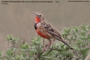 227.039.Macronyx ameliae001.Masai Mara N.R.Kenia.12.12.2014