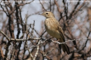 227.020.Corydalla similis001.Erindi.Namibia.17.02.2014
