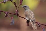 226.016.01.Passer-griseus-swainsonii001.Dilla_.Gedeo-Zone.Ethiopia.20.11.2009