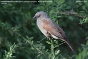 226.016.02.Passer-griseus-gongonensis001.Lake-Bogoria.Kenia_.7.12.2014