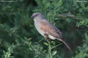 Passer-griseus-gongonensis002.Lake-Bogoria.Kenia_.7.12.2014