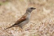 Passer-g.-griseus003.Limbe_.Kamerun.23.02.2012