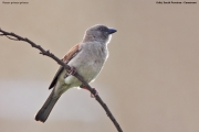 Passer-g.griseus004.Kribi_.Kamerun.26.02.2012