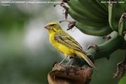 226.162.Crithagra_sulphurata001.Bigodi.Kibale_Forest_N.P.Uganda.PJ.19.02.2011