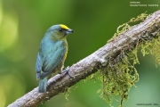 Euphonia_gouldi003.Male.Selva_Verde_Lodge.CR.2.12.2015