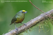 226.027.Euphonia_gouldi001.Male.Selva_Verde_Lodge.CR.2.12.2015