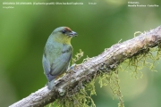 226.027.Euphonia_gouldi002.Female.Selva_Verde_Lodge.CR.2.12.2015