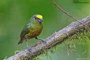 Euphonia_gouldi004.Male.Selva_Verde_Lodge.CR.2.12.2015