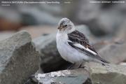 227.005.Plectrophenax_nivalis002.Female.Longyearbyen.Spitsbergen.MJ.11.07.2018