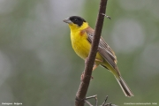 Granativora_melanocephala002.Male.Bratsigovo.Bulgaria.PJ.26.05.2017
