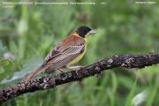 229.011.Granativora_melanocephala001.Male.Bratsigovo.Bulgaria.PJ.26.05.2017