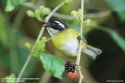 Chlorospingus_pileatus003.San_Gerardo_de_Dota.Costa_Rica.9.12.2015