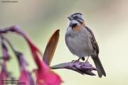Zonotrichia_capensis006.San_Gerardo_de_Dota.Costa_Rica.9.12.2015