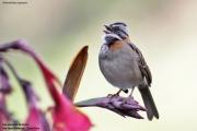Zonotrichia_capensis007.San_Gerardo_de_Dota.Costa_Rica.9.12.2015