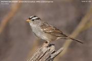 230.065.Zonotrichia_leucophrys001.Portal.Arizona.USA.MJ.27.03.2013
