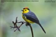 236.106.Myioborus torquatus001.San Gerardo de Dota.Costa Rica.7.12.2015