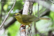 236.071.Myiothlypis flaveola001.Pantanal.Brazylia.16.11.2013