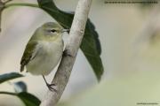 Leiothlypis peregrina002.San Gerardo de Dota.Costa Rica.7.12.2015