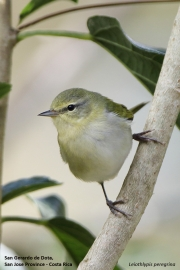 Leiothlypis peregrina003.San Gerardo de Dota.Costa Rica.7.12.2015