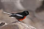 236.099.Myioborus pictus001.Portal.Arizona.USA.MJ.26.03.2013