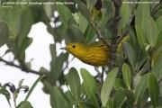 236.047.Setophaga petechia001.Las Salinas.Zapata.Cuba.AJ.11.01.2018