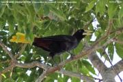 Psarocolius_decumanus0001.Pantanal.Brazylia.13.11.2013