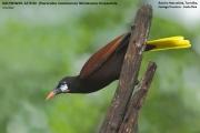 238.018.Psarocolius_montezuma001.Rancho_Naturalista.Platanillo.CR.5.12.2015
