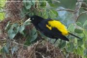 238.025.Cacicus_cela001.Pantanal.Brazylia.15.11.2013