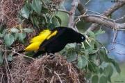 Cacicus_cela002.Pantanal.Brazylia.15.11.2013