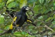 Cacicus_cela003.Pantanal.Brazylia.13.11.2013