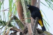 Cacicus_cela006.Pantanal.Brazylia.13.11.2013