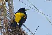 Cacicus_cela004.Pantanal.Brazylia.13.11.2013