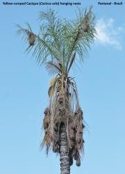 Cacicus_cela008.Gniazda.Pantanal.Brazylia.13.11.2013