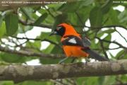 238.047.Icterus_croconatus001.Pantanal.Brazylia17.11.2013