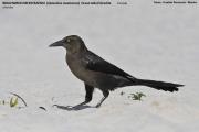 238.084.Quiscalus_mexicanus002.Female.Tulum.5.12.2007
