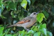 238.096.Agelaioides_badius001.Pantanal.Brazylia.10.11.2013
