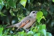 Agelaioides_badius002.Pantanal.Brazylia.10.11.2013