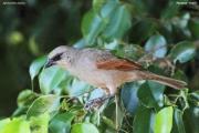 Agelaioides_badius003.Pantanal.Brazylia.10.11.2013