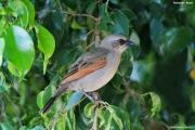 Agelaioides_badius004.Pantanal.Brazylia.10.11.2013
