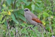 Agelaioides_badius005.Pantanal.Brazylia.12.11.2013