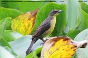 238.099.Agelasticus_cyanopus002.Female.Pantanal.Brazylia.12.11.2013