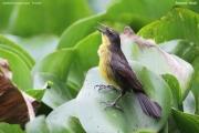 Agelasticus_cyanopus004.Female.Pantanal.Brazylia.12.11.2013