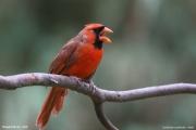 Cardinalis_cardinalis004.Chapel_Hill.NC.1.09.2007
